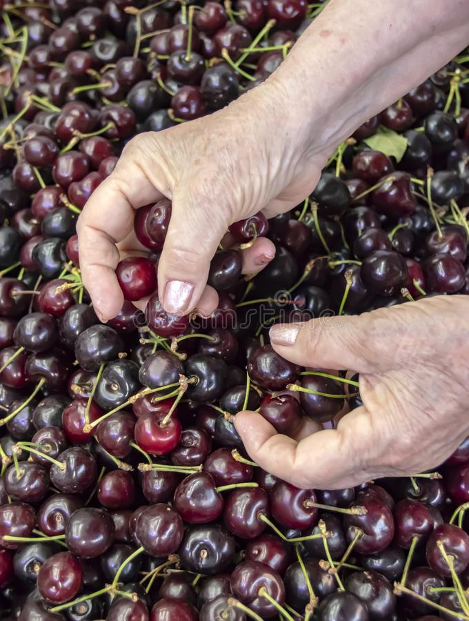 The hands of an elderly woman, choosing a ripe purple cherry royalty free stock photos