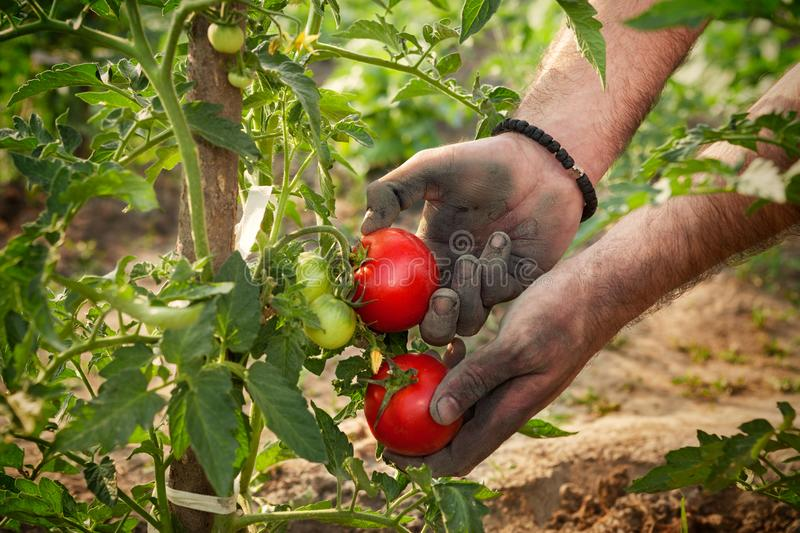 Hands of famer holding tomato stock photography