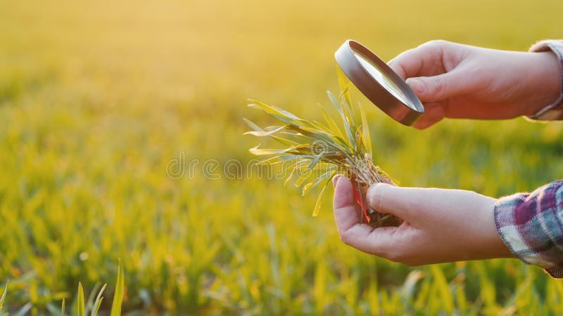 The hands of a farmer who studies wheat sprout through a magnifying glass on the field stock image