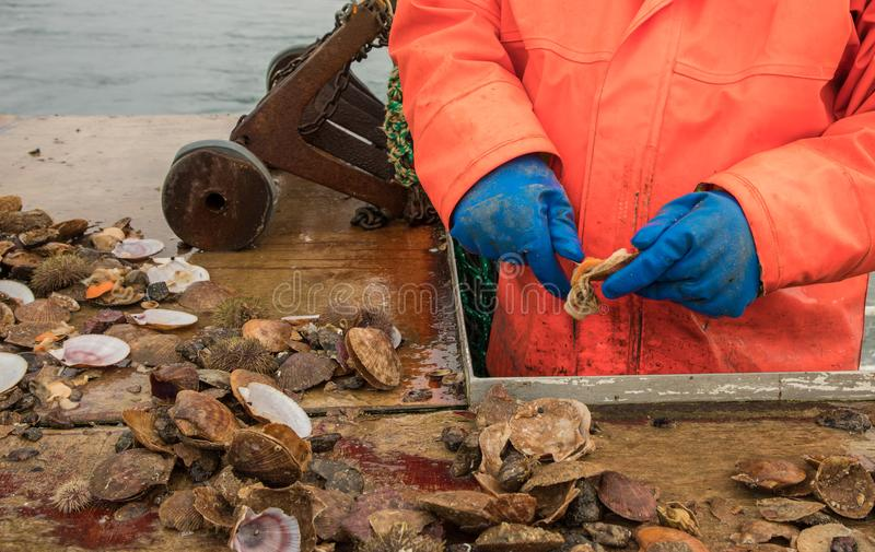 Hands of Fisherman Holding Knife Preparing Fresh Caught Shellfish and Seafood for Sushi on a Fishing Boat stock images