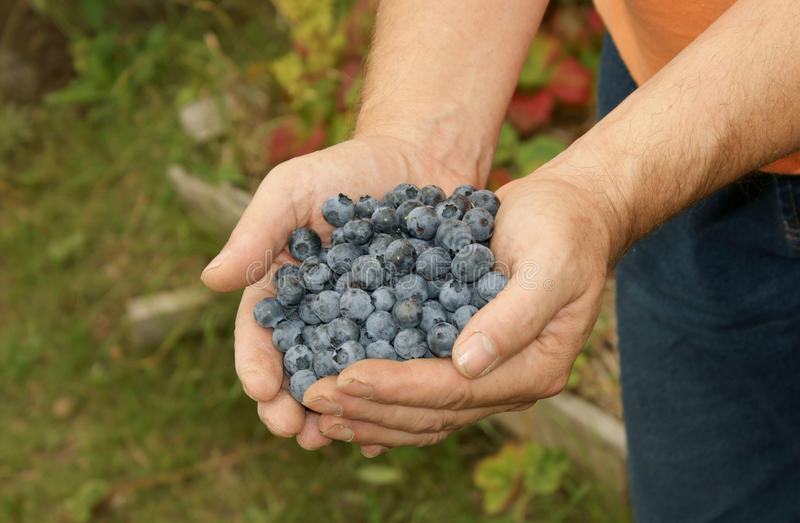 Hands full of blueberries stock photos