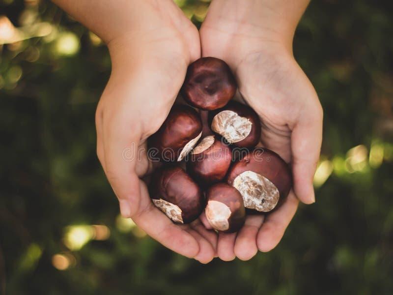 Hands full of fresh chestnuts stock image
