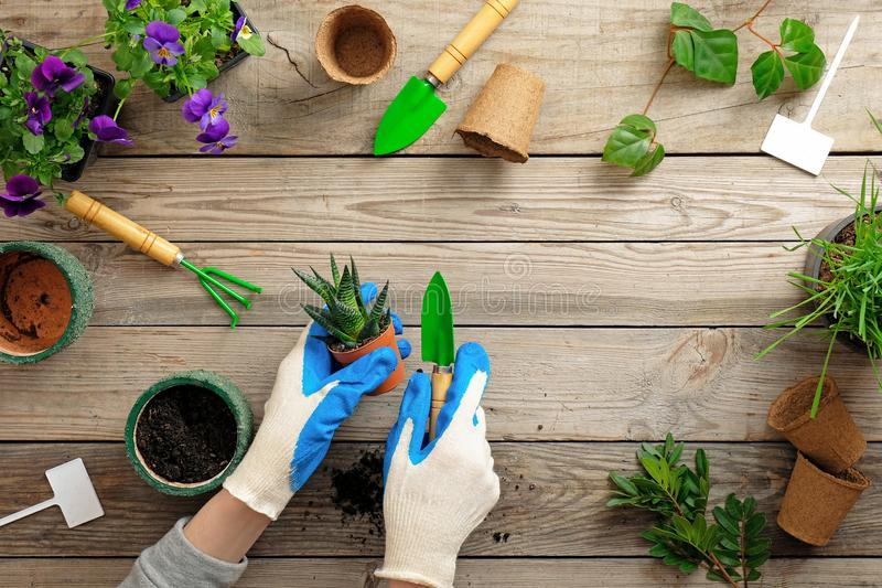 Hands of gardener in gloves planting flower in pot with dirt or soil. Spring garden works concept. Flat lay composition captured royalty free stock photos