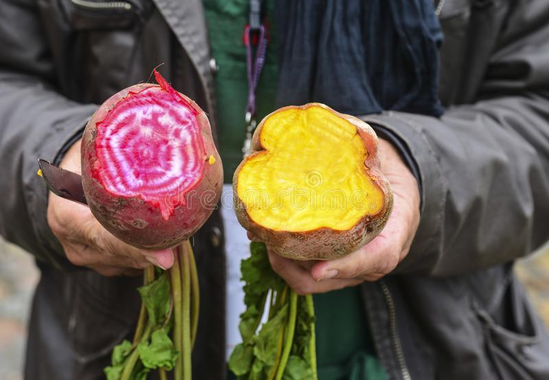 Hands of the gardener with pink and yellow beet stock photo