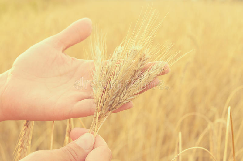 Hands gently pat the spikelets of wheat on a summer day. Hands gently pat the spikelets of wheat on a summer day royalty free stock photo