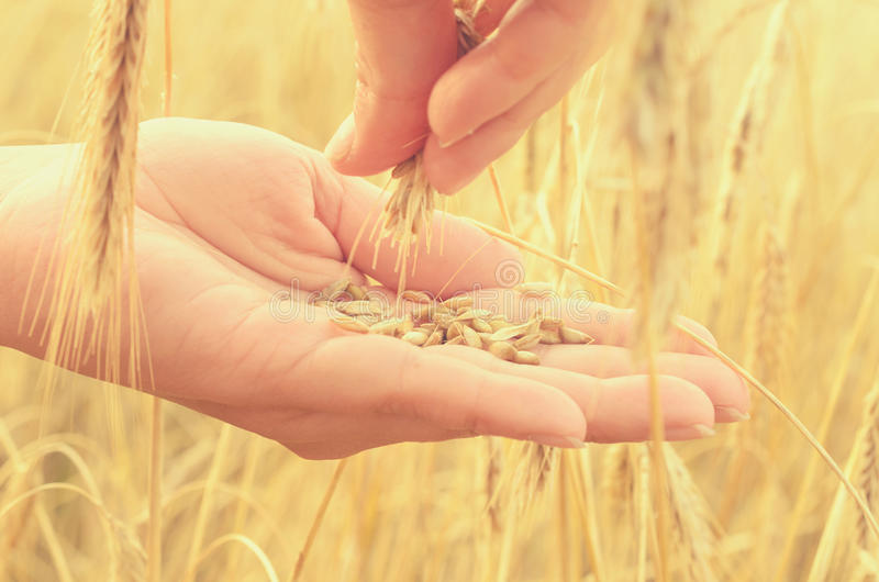 Hands gently pat the spikelets of wheat on a summer day. Hands gently pat the spikelets of wheat on a summer day royalty free stock images