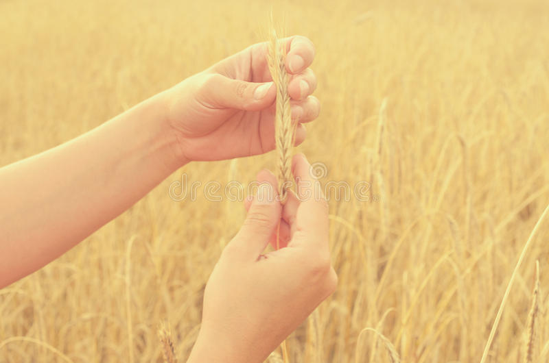 Hands gently pat the spikelets of wheat on a summer day. Hands gently pat the spikelets of wheat on a summer day royalty free stock image