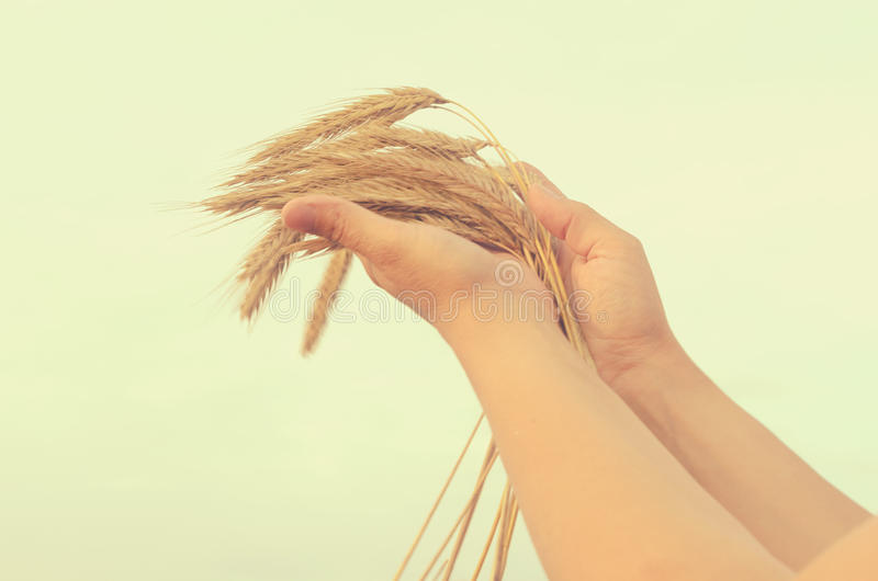 Hands gently pat the spikelets of wheat on a summer day. Hands gently pat the spikelets of wheat on a summer day stock image