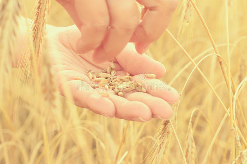 Hands gently pat the spikelets of wheat on a summer day. Hands gently pat the spikelets of wheat on a summer day stock photography