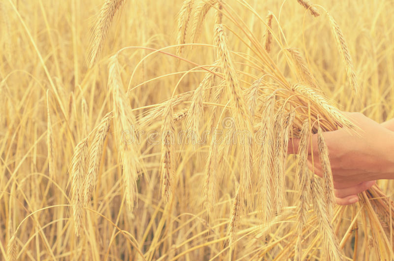 Hands gently pat the spikelets of wheat on a summer day. Hands gently pat the spikelets of wheat on a summer day stock images