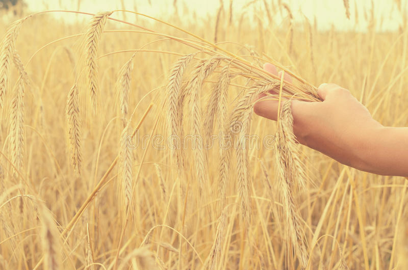 Hands gently pat the spikelets of wheat on a summer day. Hands gently pat the spikelets of wheat on a summer day stock photo