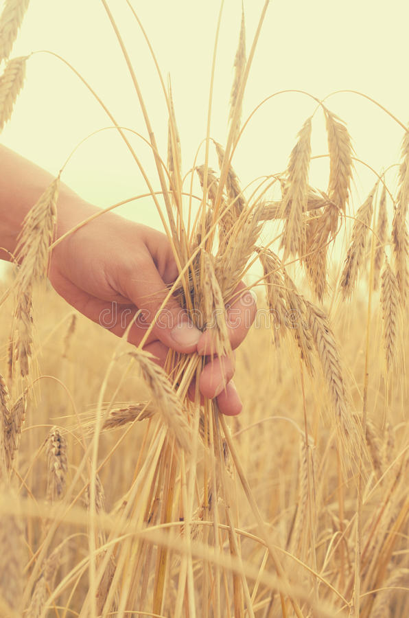 Hands gently pat the spikelets of wheat on a summer day. Hands gently pat the spikelets of wheat on a summer day royalty free stock photos