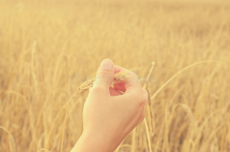 Hands gently pat the spikelets of wheat on a summer day. Hands gently pat the spikelets of wheat on a summer day royalty free stock photography