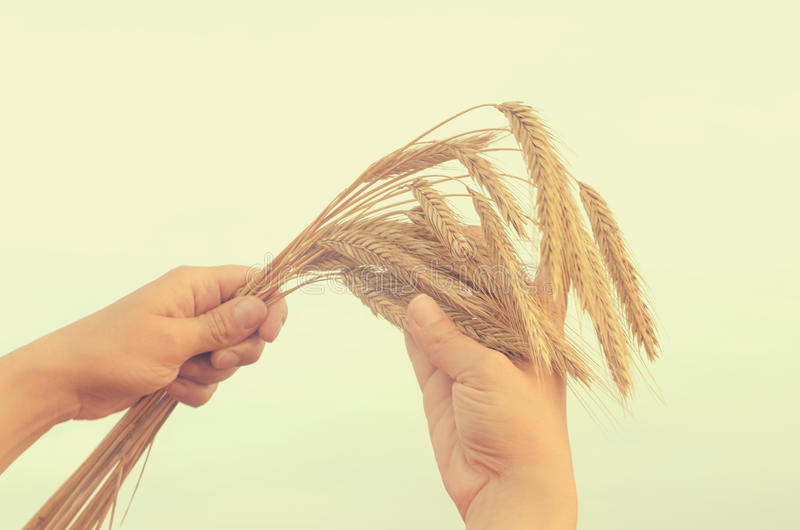 Hands gently pat the spikelets of wheat on a summer day. Hands gently pat the spikelets of wheat on a summer day stock photos