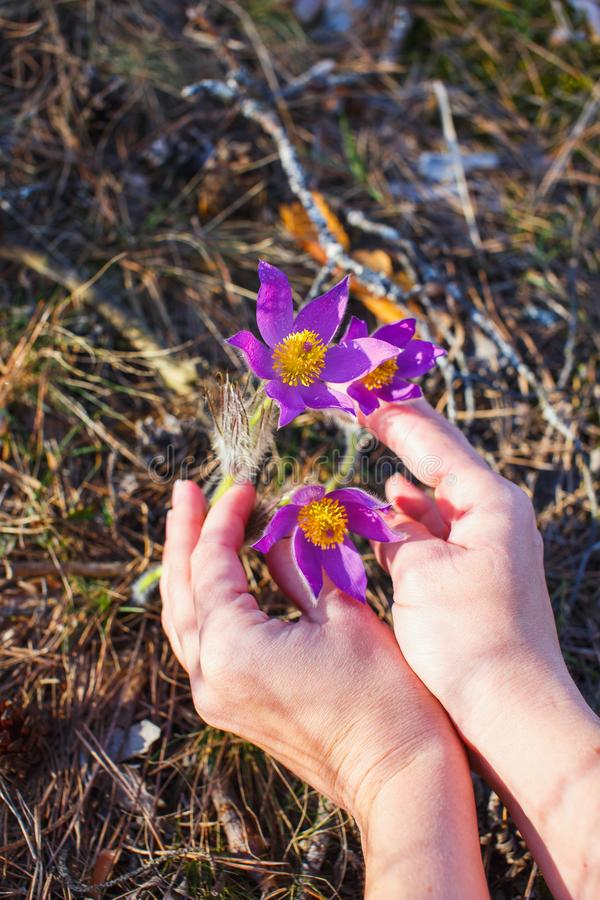 Hands of a girl collect pasque-flower in the spring forest stock image