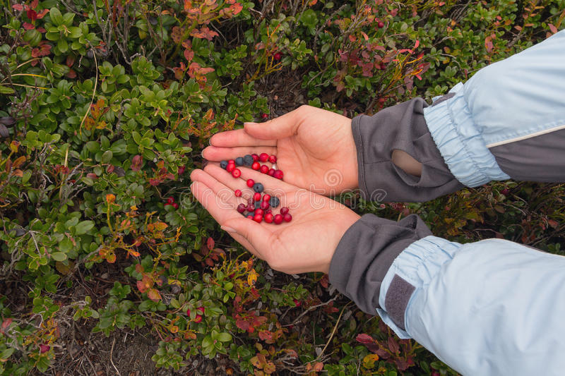 Hands of a girl picking berries stock photo