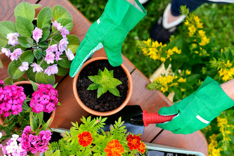 Hands in green gloves plant flowers in pot stock images