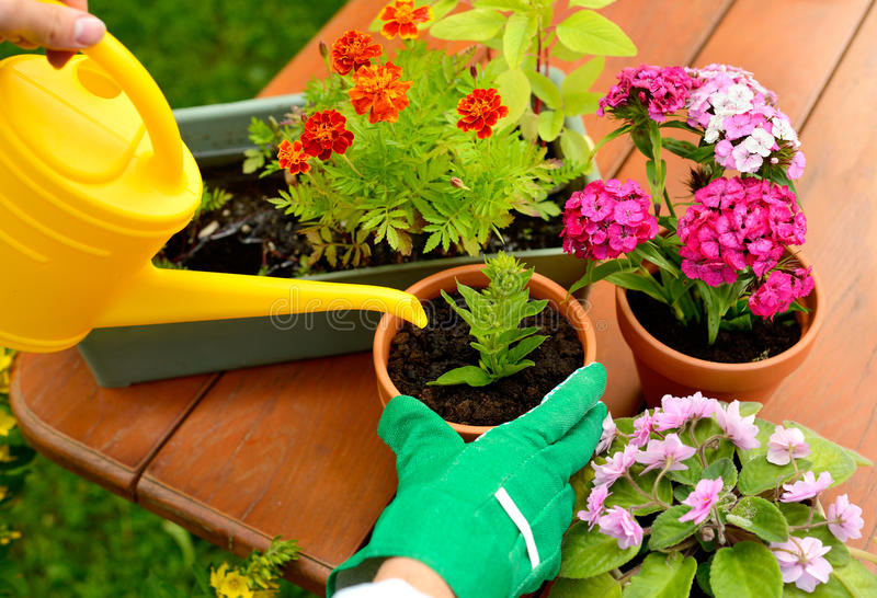 Hands in green gloves plant flowers in pot.  royalty free stock images