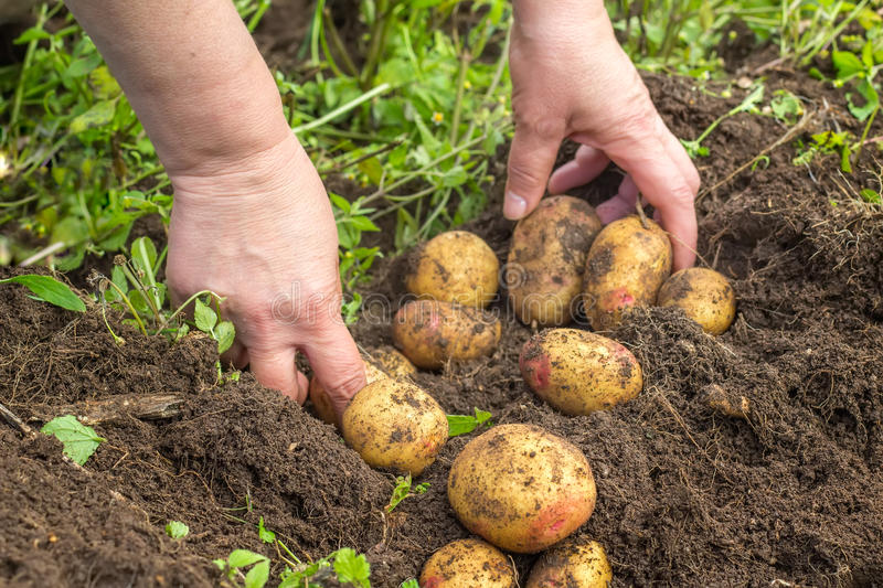 what kind of soil to grow potatoes