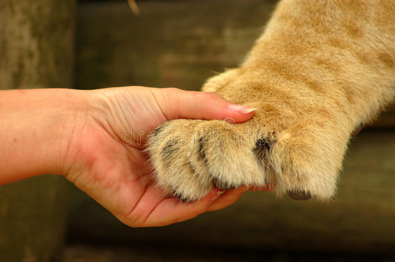 Hands holding. A white hand of a caucasian woman holding the paw of a big African lion in a game reserve in South Africa royalty free stock photography
