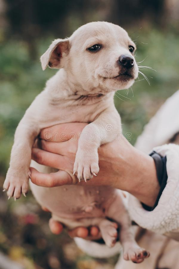 Hands holding cute little staff terrier puppy in autumn park. Person caressing scared homeless beige puppy in city street. Adoption concept. Dog shelter stock image