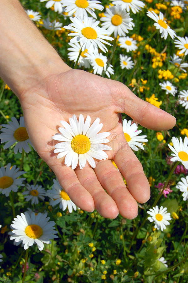Download Hands holding a daisy stock image. Image of hayfield, flowers - 9654823