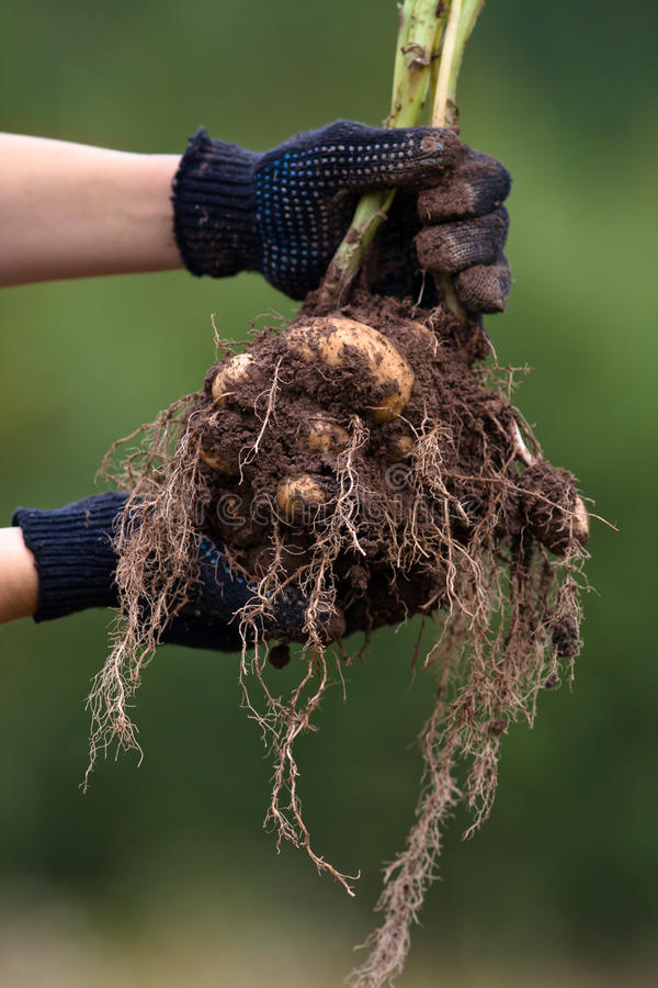 Hands holding digging bush potato. Women hands in gloves holding digging bush potato on blurred background stock photo