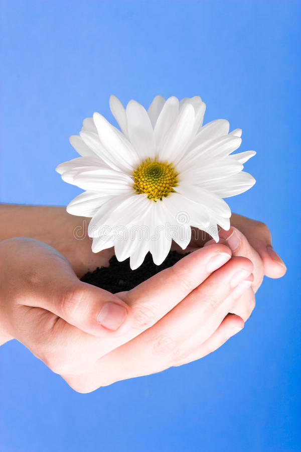 Hands holding flower. On a blue background royalty free stock image