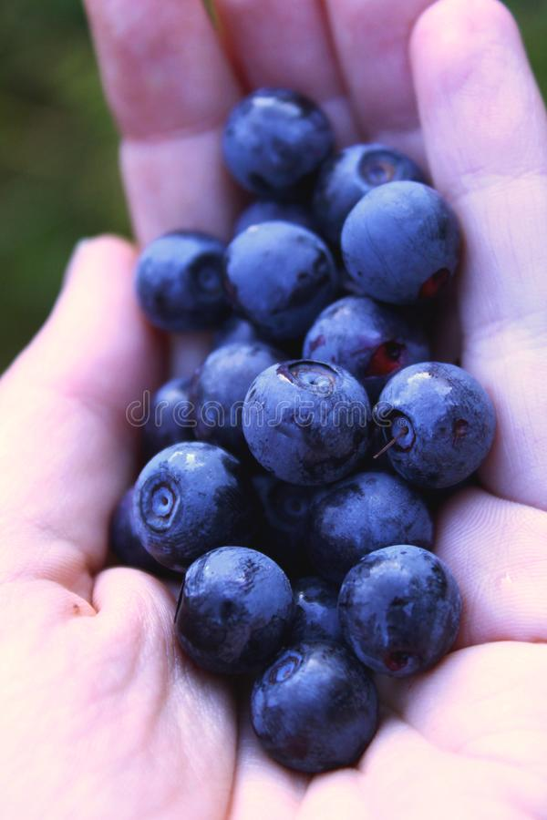 Hands holding fresh blueberries - natural berries in forest royalty free stock images