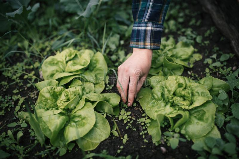 Hands holding fresh lettuce from small farm. Concept of agricultural.  Young woman picking vegetables. stock photo
