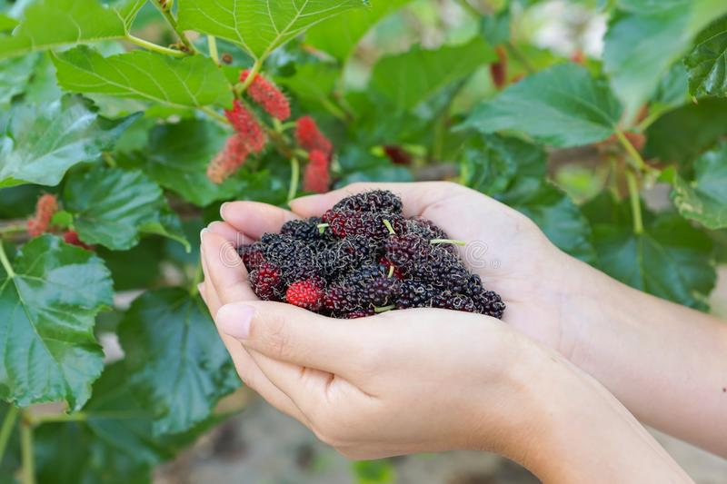 Hands holding fresh mulberry royalty free stock images