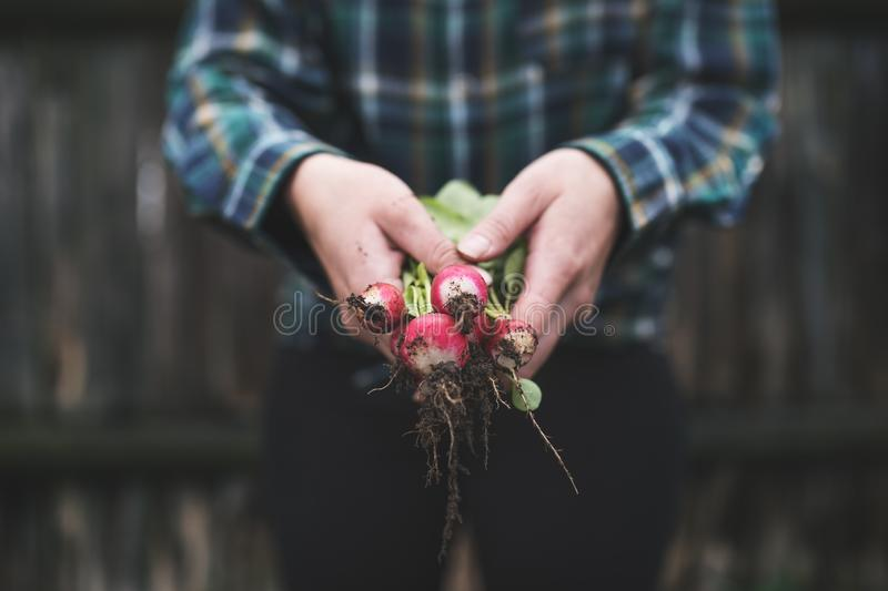 Hands holding fresh radish from small farm. Concept of agricultural. Young woman picking root vegetables. royalty free stock photography