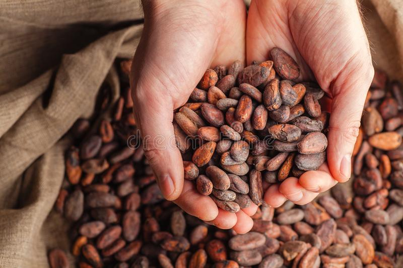 Hands Holding Raw Cocoa Beans Stock Image