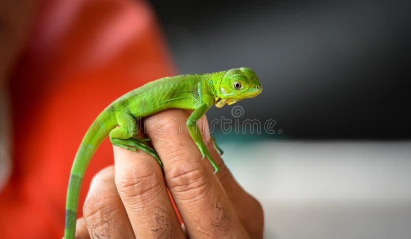 699 Baby Green Iguana Photos - Free & Royalty-Free Stock Photos from Dreamstime