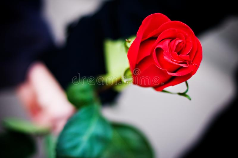 Hands holding rose royalty free stock photo
