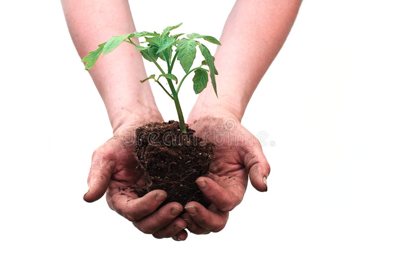 Hands holding seedling. Of tomato plant on white background royalty free stock photos