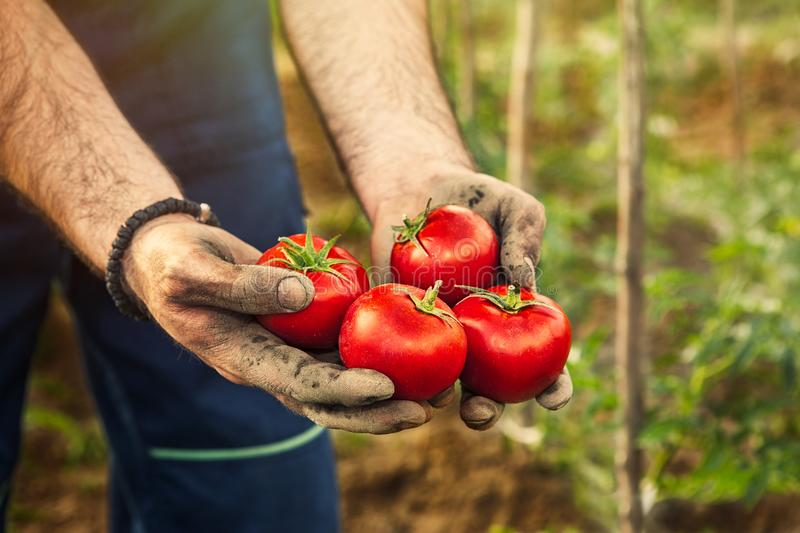 Hands holding tomato stock image