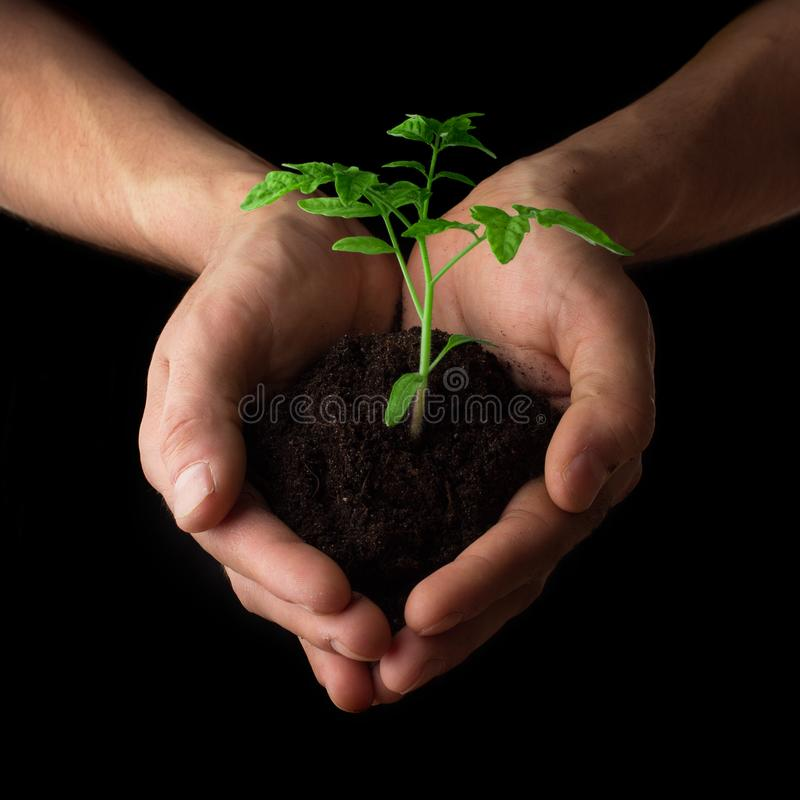 Hands holding tomato seedling. Gardening and environmental protection concept royalty free stock photos