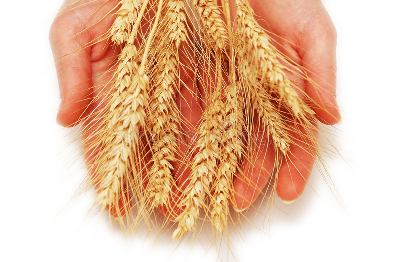 Hands holding wheat ears stock images