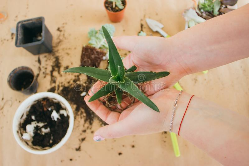 Hands holding a young green plant stock photo