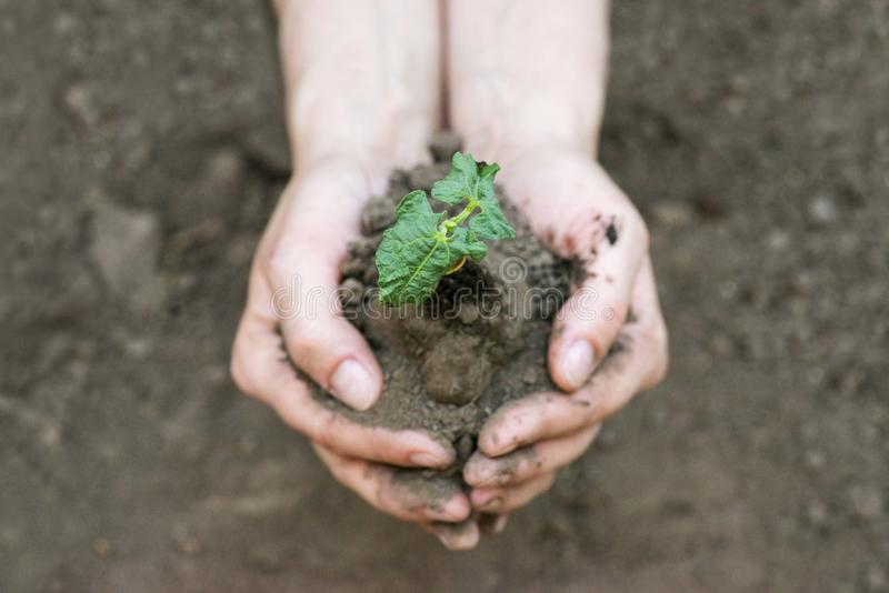 Hands holding young plant with soil. Ecology concept royalty free stock photo