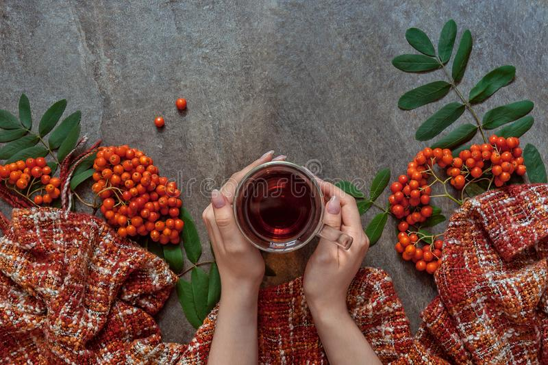 Hands hug a mug with a drink on a background of red berries and a scarf, immunity against flu and colds royalty free stock images