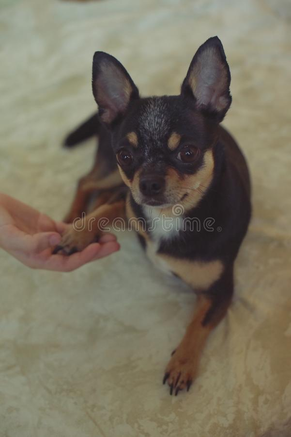 Hands of a little girl and chihuahua dog. Black-brown-white chihuahua. Dog is man`s best friend. Hands of a little girl and chihuahua dog. tender touch handshake royalty free stock image