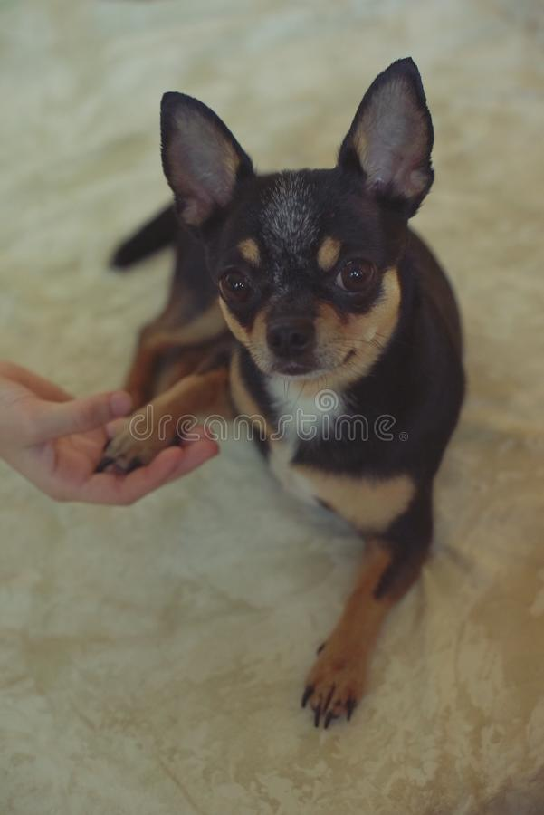 Hands of a little girl and chihuahua dog. Black-brown-white chihuahua. Dog is man`s best friend. Hands of a little girl and chihuahua dog. tender touch handshake stock images