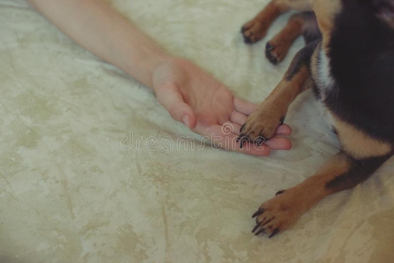 Hands of a little girl and chihuahua dog. Black-brown-white chihuahua. Dog is man`s best friend. Hands of a little girl and chihuahua dog. tender touch handshake stock photos