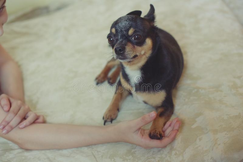 Hands of a little girl and chihuahua dog. Black-brown-white chihuahua. Dog is man`s best friend. Hands of a little girl and chihuahua dog. tender touch handshake royalty free stock photo