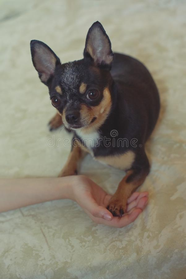 Hands of a little girl and chihuahua dog. Black-brown-white chihuahua. Dog is man`s best friend. Hands of a little girl and chihuahua dog. tender touch handshake stock image