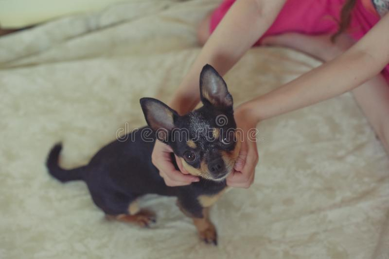 Hands of a little girl and chihuahua dog. Black-brown-white chihuahua. Dog is man`s best friend. Hands of a little girl and chihuahua dog. tender touch handshake royalty free stock photography