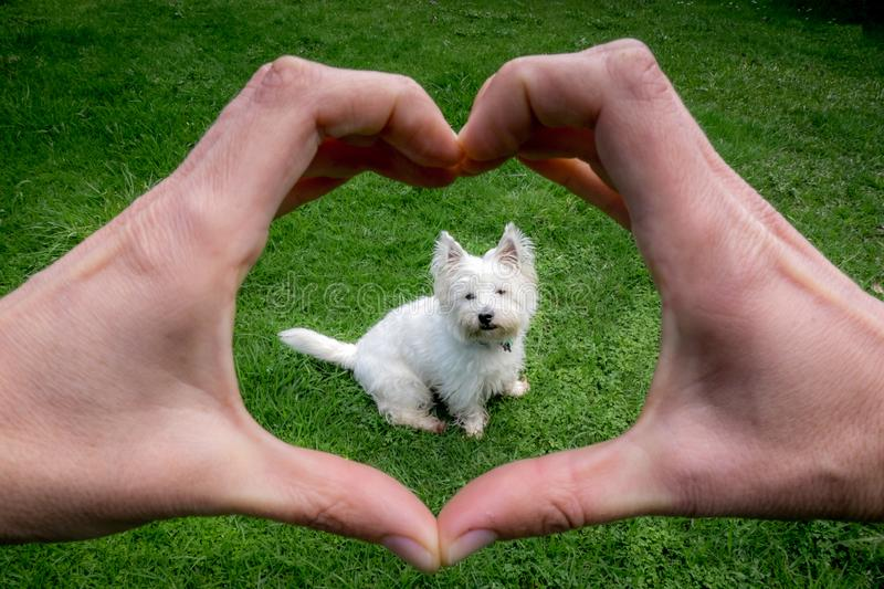Hands making heart shape around cute west highland terrier westie dog: owner POV point of view royalty free stock images