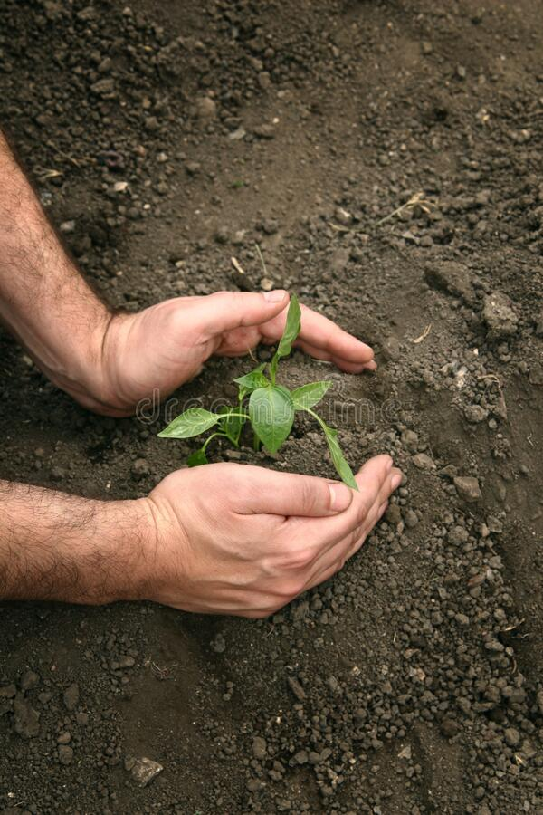 Hands of a man planting a young organic plant of pepper in the ground. Planting pepper seedlings royalty free stock photography